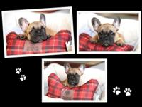 AKC red fawn French Bulldog with black mask 12 weeks