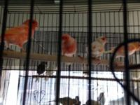 Lovely Canaries male or female available mentioning at