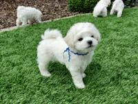 Beautiful Cavachon Puppies Ready Lovely micro teacup
