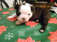 I have beautiful Boston Terrier puppies for sale! All