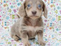 We have a variety of beautiful dachshund puppies