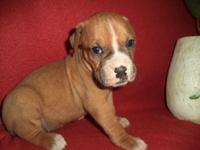 This beautiful Boxer puppy is nicknamed Dixie. She is