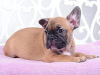 Lolly is so lovely! She is pure type French bulldog