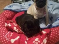 Beautiful litter of Pug puppies available, both girls