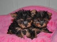 Animal Type: Dogs Breed: Yorkshire Terrier I have two