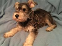 Gorgeous salt and pepper male mini Schnauzer puppy.