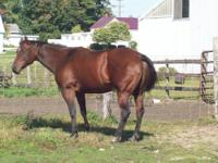 Beautiful 15yo Paint Mare - approx. 14.3 hands -