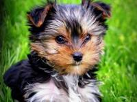I have 2 beautiful Partie Yorkies left, 1 female and