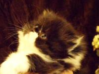 I have Persian Kittens Available... Black/White and