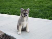 Beautiful Pomsky Puppy for sale. One boy left. Now 10
