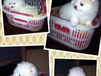 This pomeranian puppies.The have a very beautiful white