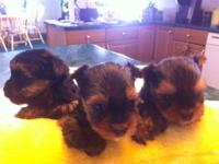 I have one male and two female Yorkies available. They