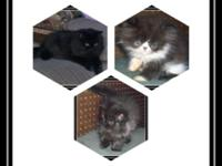 Beautiful Registered Persian Male Kittens $500.00