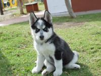 My Beautiful Siberian Husky  puppies,Tyra (Female) &