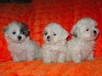 Small and Smaller Maltese ShihTzu Puppies Males 550 and