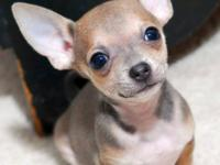 beautifull chihuahua puppies for free adoption These
