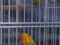I have a beautifull pair of love birds for sale the