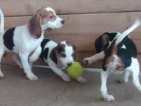 3 female, tri-color, beagle puppies for $250.00 each.
