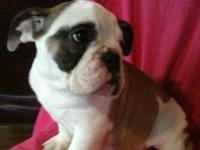 I have two beautiful English Bulldog puppies (I male