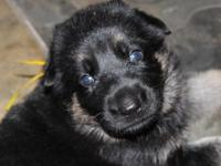 Bumble Bee is a lovely Black and Tan Female German