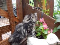 BEAUTIFUL MAINE COON KITTENS. MAKE A GEAT ADDITION TO
