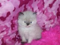 Purrepiphany has 4 adorable persian kittens, 1 female