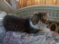 I have a very adorable, nice quality Brown Tabby &