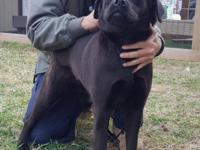 Beauty (#354352) is a pretty 1 year old black Labrador