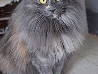 Beauty's story Pretty Young, Small Norwegian Forest Cat