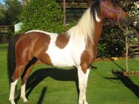 Missy is a 9 years old, 16 hands, Arabian/Saddlebred