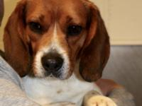 Beck is a handsome young beagle, approximately 18