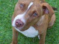 Beckett is an 8 month old red/brindle male American