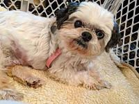 Bee Bee's story Bee Bee is a 6 year old Shih Tzu who