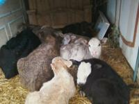 Have several beef calves for sale