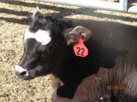 BEEF CALVES FOR SALE. Excellent quality beef calves