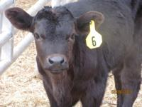 Excellent quality beef calves (angus, limousine,