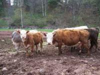 Hereford Cow with Heifer calf. Calf Born:10-26-10.