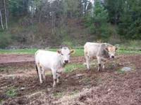 3/4 Piedmontese 1st. calf heifer (on left) Born