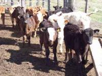 Angus and charloais feeder calves vacinated wormed