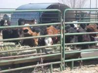 Beef roping calves for sale. Upon arrival they receive