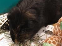 Beethoven is a 7-8yrs old male medium haired guinea