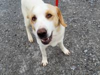 Beethoven is a 3-4 year old retriever mix who is