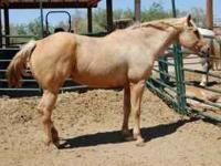 18yr., AQHA reg. Super gentle. Beginner safe. Ridden