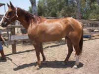"""Ringo"" is a sweet beginner safe red dun quarter horse"