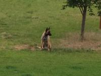 Jasper is 11 months old male Belgian Malinois. He has