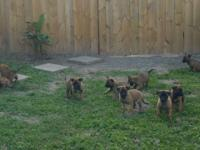 FROM THE BEST LINE OF MALINOIS!! READY NOW,. AKC
