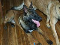 Male malinois, 1 year old May 13. No papers. Started on