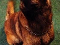 . I have a stunning, sweet Belgian Malinois girl that