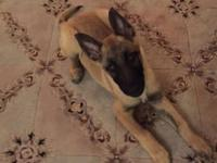 Belgian Malinios male 7months old. good dog not fixed.