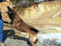 This dog is fully trained, AKC reg. He has his BH and